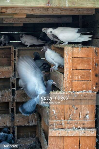 close up of pigeons in a shelter. - emreturanphoto stock pictures, royalty-free photos & images