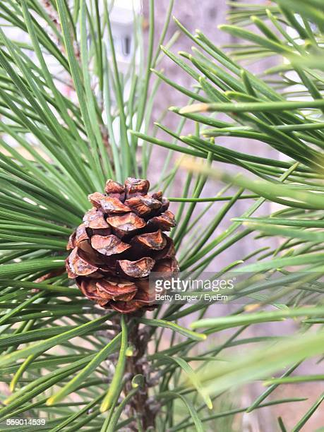 Close Up Of Pine Cone
