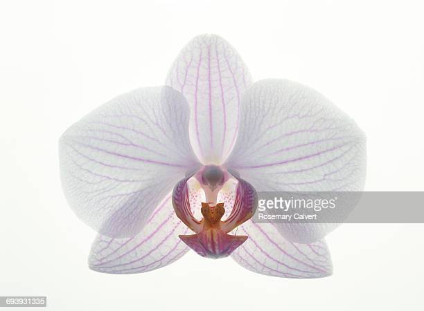 close up of pink and white phalaenopsis orchid. - orchid flower stock pictures, royalty-free photos & images