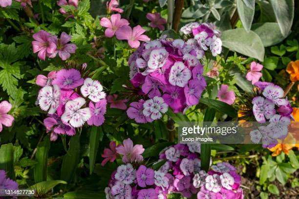 Close up of pink and white Sweet William flowers in the garden in summer.