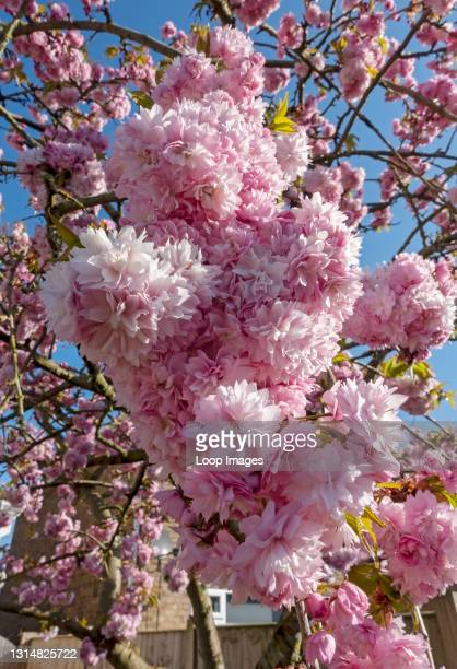 Close up of pink blossom of flowering cherry tree flowers in spring.