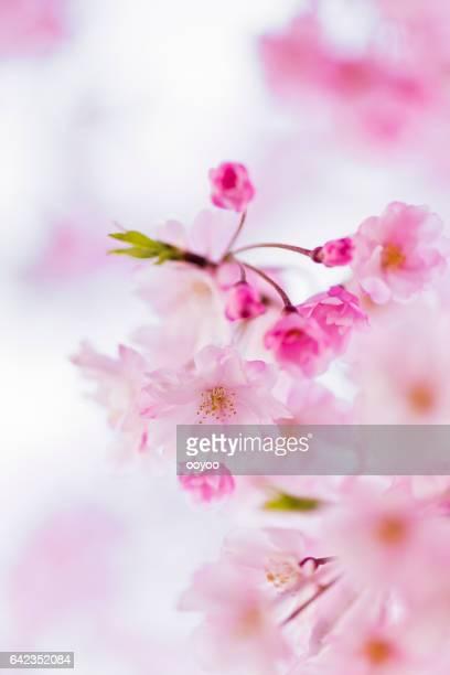 コピー スペースとピンクの桜の花のクローズ アップ