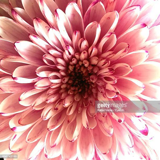 Close Up Of Pink Chrysanthemum
