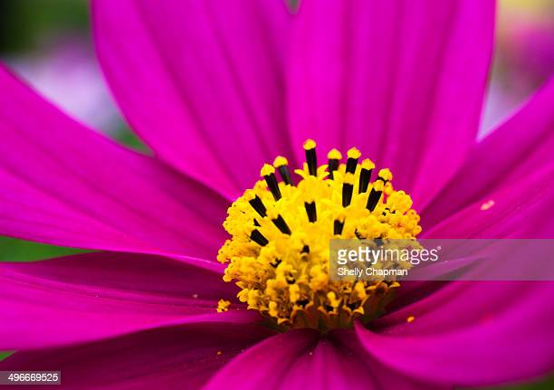 Close up of pink cosmos