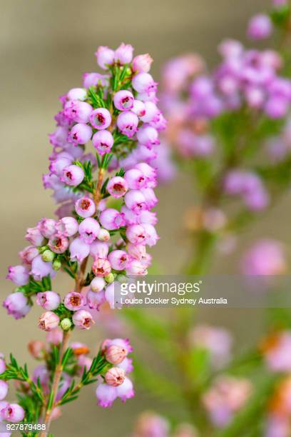 Close up of Pink Erica Flowers