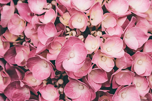 Close up of pink hydrangea - gettyimageskorea