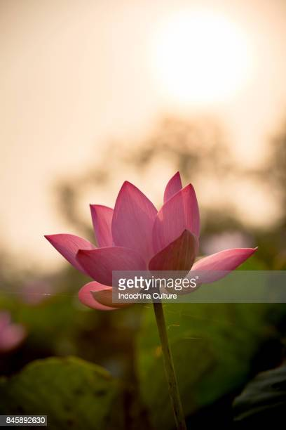 Close up of pink lotus blooming in lotus point isolated in the sunlight