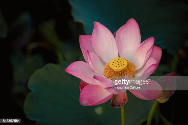 Close up of pink lotus blooming in lotus point
