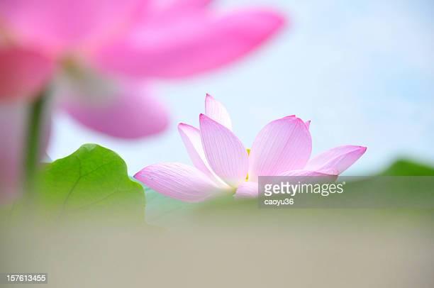 Gros plan de fleurs de lotus rose
