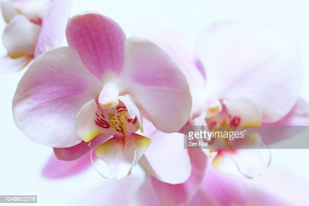 close up of (phalaenopsis) pink orchids against white background - zen rial stock photos and pictures