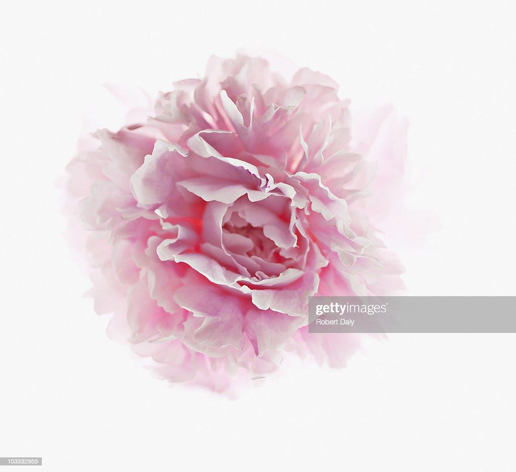 Primer plano de peonía rosa : Foto de stock