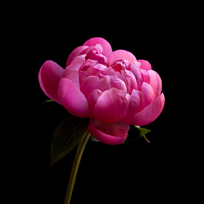 Close up of pink peony - gettyimageskorea