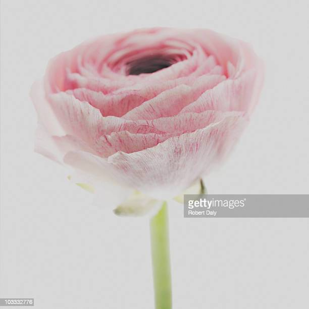 Close up of pink ranunculus