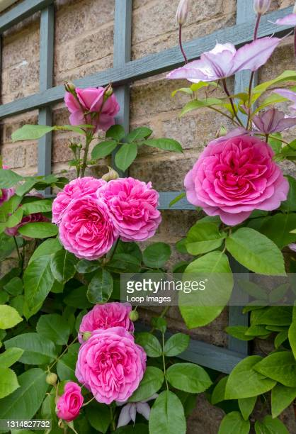 Close up of pink rose 'Gertrude Jekyll' growing on trellis on a wall in the garden in summer.