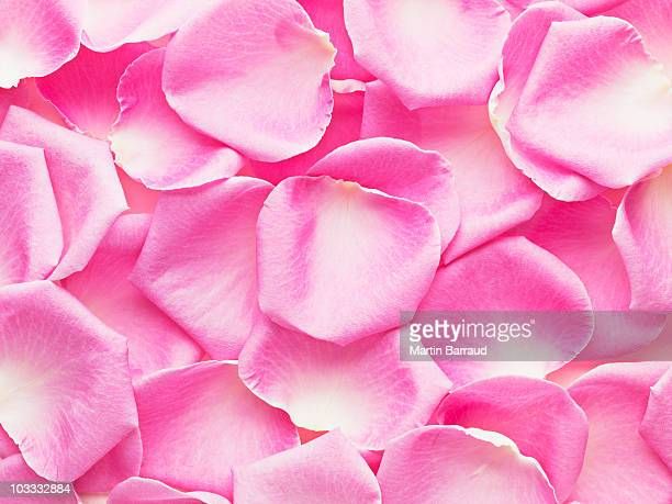 close up of pink rose petals - petal stock pictures, royalty-free photos & images