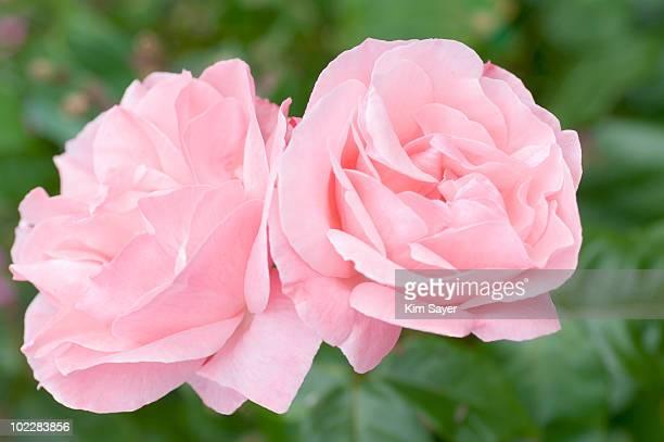 close up of pink roses - kim rose stock-fotos und bilder