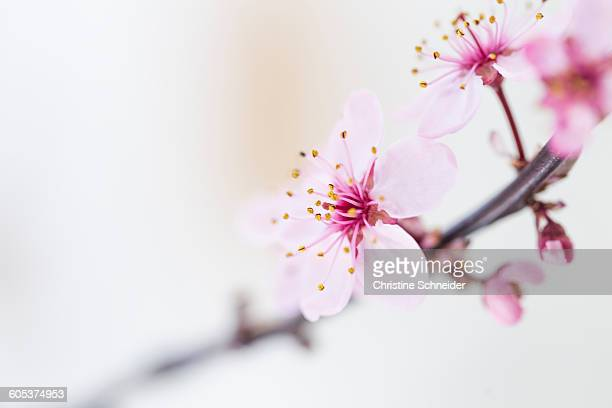 Close up of pink tree blossoms