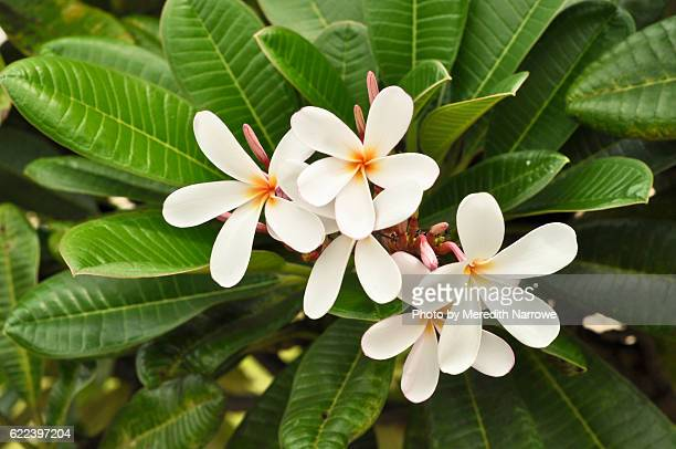 Close Up of Plumeria in Bloom on Tree