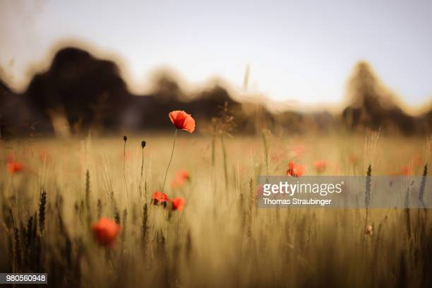 close up of poppies at wheat field - poppy stock pictures, royalty-free photos & images