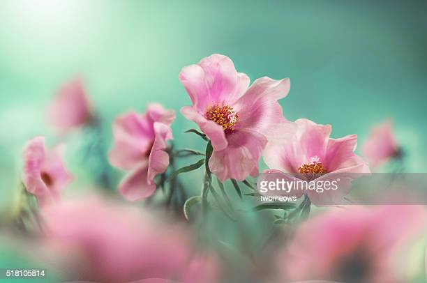 close up of portulaca grandiflora (moss rose) - girly wallpapers stock pictures, royalty-free photos & images