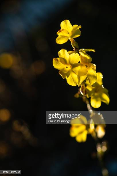 close up of pretty yellow flowers on a branch in bright sunlight, with dew on it - newbury england stock pictures, royalty-free photos & images