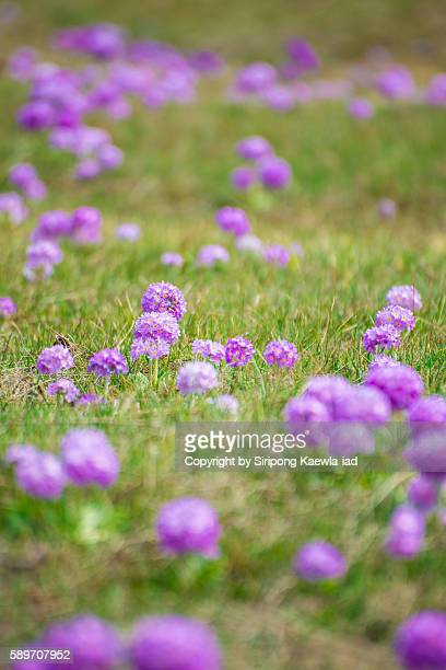 close up of primula denticulata primrose in the lawn - sikkim stock pictures, royalty-free photos & images