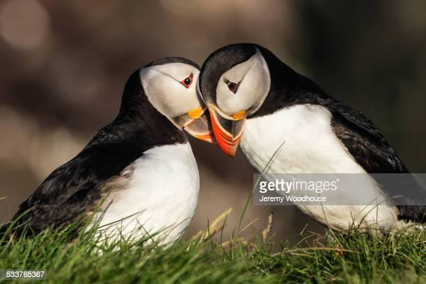 close up of puffins courting in grassy - accoppiamento animale foto e immagini stock
