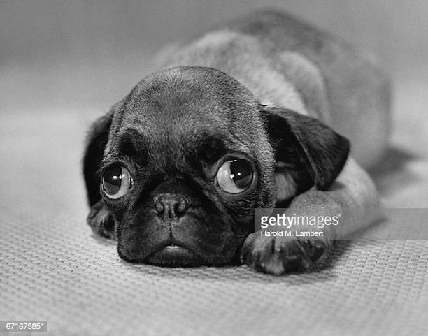 close up of puppy lying on floor - pawed mammal stock pictures, royalty-free photos & images