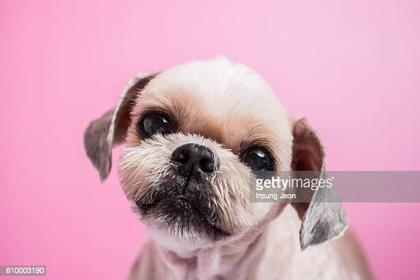 close up of Puppy on pink background