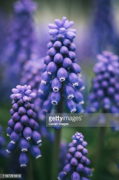 close up of purple grape hyacinth flowers blooming in a garden. - grape hyacinth stock pictures, royalty-free photos & images