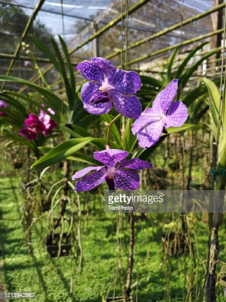 close up of purple orchid - vanda stock pictures, royalty-free photos & images
