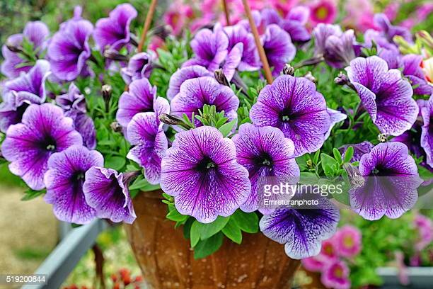 close up of purple petunias - emreturanphoto stock-fotos und bilder