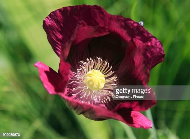 Close up of purple poppy plant flower, Papaver somniferum, Sissinghurst castle gardens, Kent, England, UK.