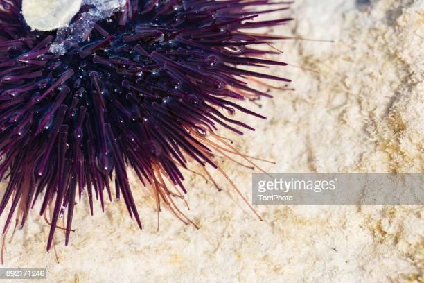 Close Up of purple sea urchin in Indian Ocean