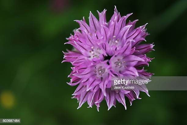 a close up of purple summer flower in finland - jyväskylä stock photos and pictures
