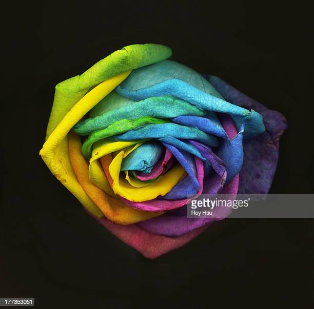 Close up of Rainbow Rose