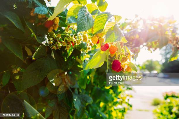 Close up of raspberries growing on leafy vines