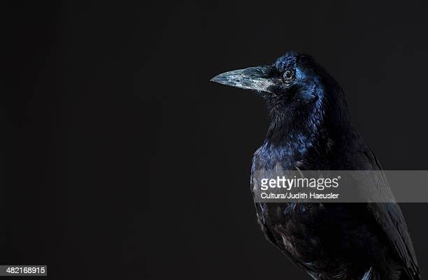 close up of raven - crow bird stock photos and pictures
