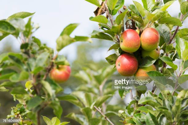 Close up of red and green apples on branch of an apple tree.