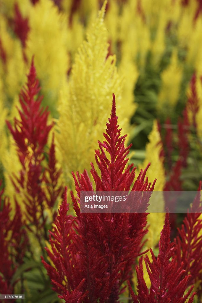 close up of red and yellow celosia plants : Stock Photo