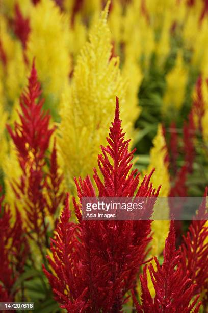 close up of red and yellow celosia plants - cockscomb plant stock photos and pictures