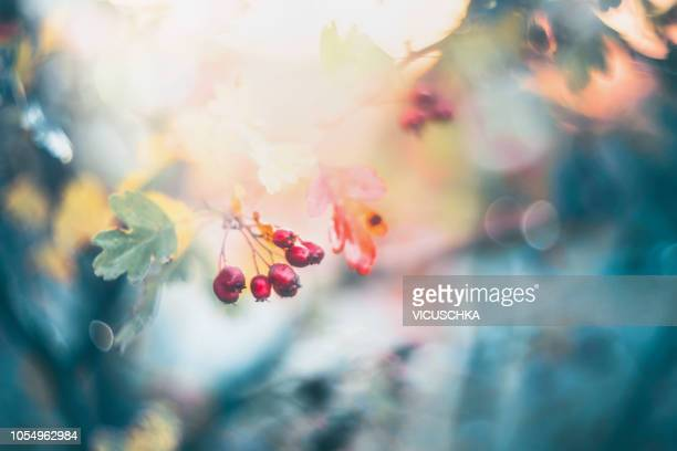close up of red autumn wild berries at back lit by evening sun - hawthorn,_victoria stock pictures, royalty-free photos & images