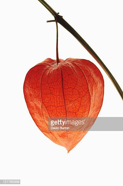 close up of red chinese lantern plant (physalis franchetii) - chinese lantern lily stock pictures, royalty-free photos & images