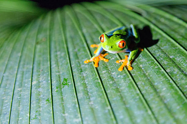 Close Up Of Red Eyed Tree Frog, Costa Rica Wall Art