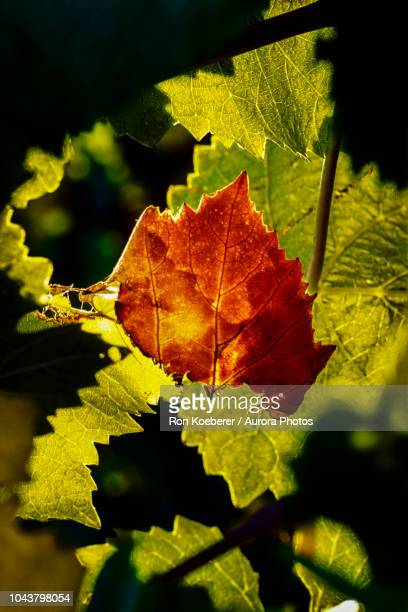 close up of red leaf - koeberer stock photos and pictures