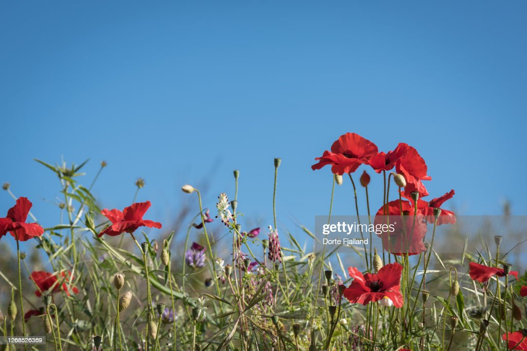 Close up of red poppies against a clear blue sky : Foto de stock