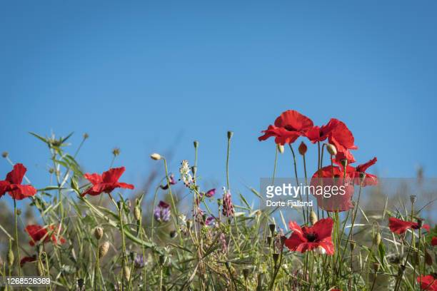 close up of red poppies against a clear blue sky - dorte fjalland fotografías e imágenes de stock