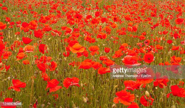 close up of red poppy flowers on flanders field for remembrance nature texture background - armistice stock pictures, royalty-free photos & images