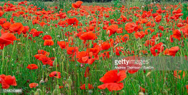 close up of red poppy flowers on flanders field for remembrance nature texture background - remembrance day stock pictures, royalty-free photos & images