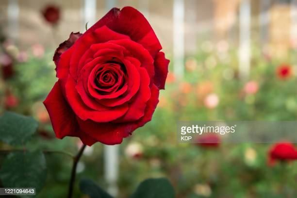 close up of red rose flower blooming in the gardening outdoors, beauty in nature. - red stock pictures, royalty-free photos & images